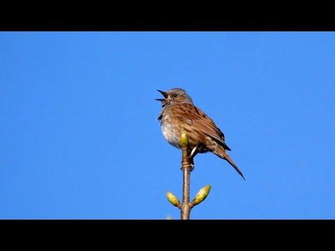 Singing Dunnock Video