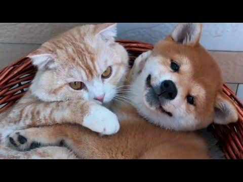 Ginger Cat and Puppy are Snuggly Love Buddies Video