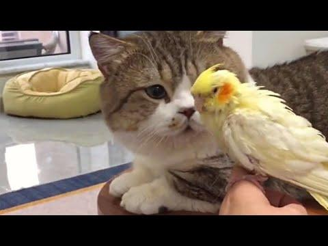 Cute Munchkin Cat and Bird Duo Video