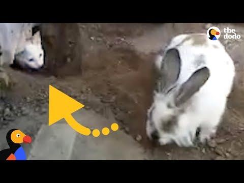 Very Determined Bunny Frees His Cat Friend