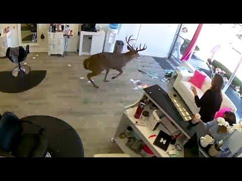 Deer Crashes Through Hair Salon. Your Daily Dose Of Internet.