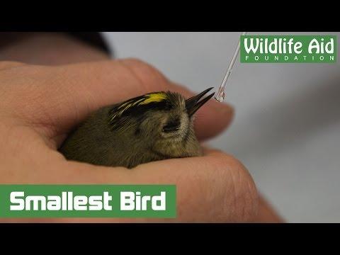 Smallest British Bird Drinking Rehydration Fluids