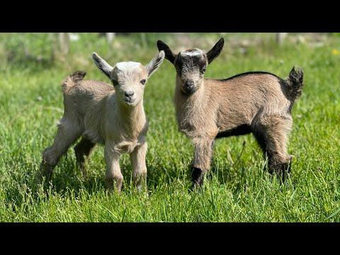 New (Goat) Kids on the Block #Video