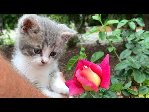 Dad introduces cute kitten to the smell of roses video