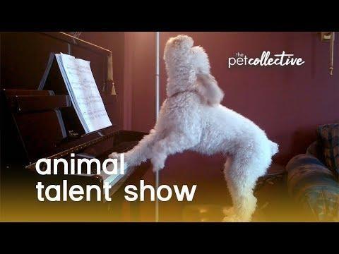 Animal Talent Show
