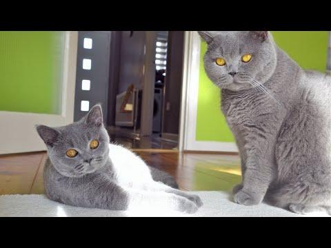 The Laziest Cat Fight Ever Video!!!
