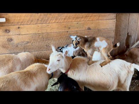 Goat Mom Surfing #Video