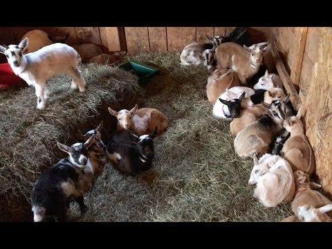 Baby Goats Rush to Breakfast!
