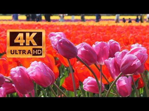 Skagit Tulip Festival at RoozenGaarde 20190420 4K UHD with Panasonic Lumix S1