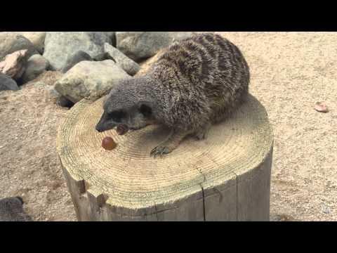 Greedy Meerkat Rules The Stump