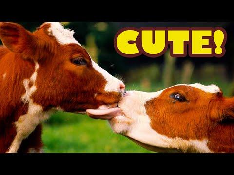 Best of Funny and Cute Cows Video