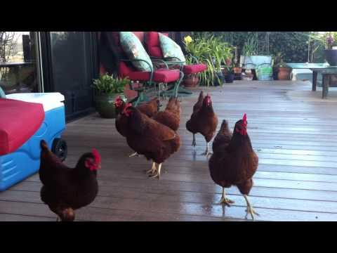 Chickens Having Fun Chasing Blueberries