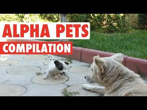 Alpha Pets    Funny Animal Compilation