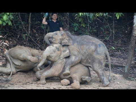 Danum the Borneo Elephant Calf