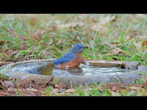 Bluebird Bathing Bliss:  A Meditation