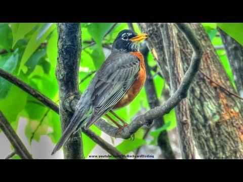 American Robin Singing a Song