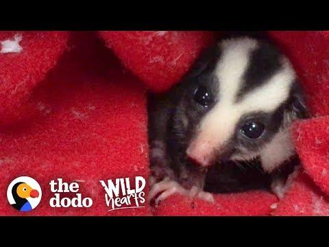Rare Striped Possum Grows Up And Runs Back To The Wild | The Dodo Wild Hearts