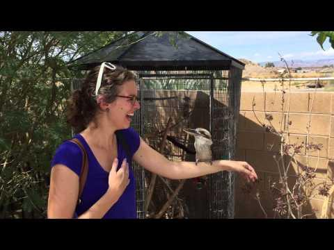 Kookaburra Laughing #Video
