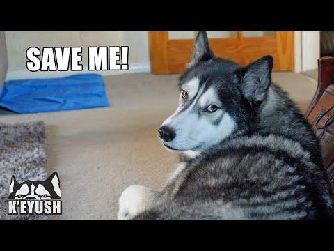 My Husky HATES My Mum Having a Mobile Phone! Video.