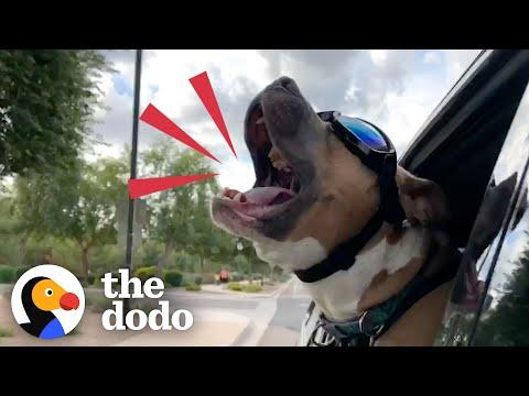 Rescue Pittie Screams Like A Person When He's Happy #Video