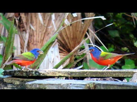 Painted Buntings - Most Colorful Songbirds in North America!