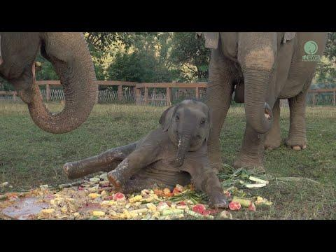 Jumbo Cake Become A Playground For Baby Elephant Wan Mai #Video