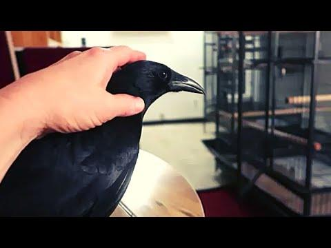 Pet crow is like a Dog! #Video