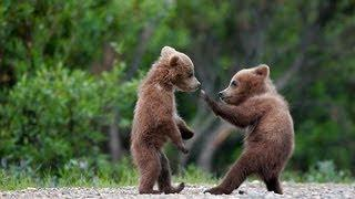 Baby bears being fed