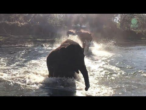 Elephant Run And Greeting Along The River To Celebrate Their Happy