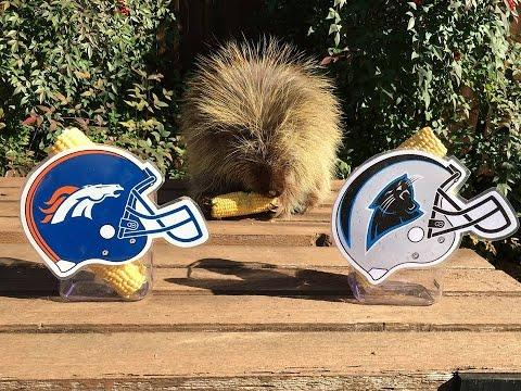 Watch Teddy Bear The Porcupine Predict Super Bowl 50 Winner