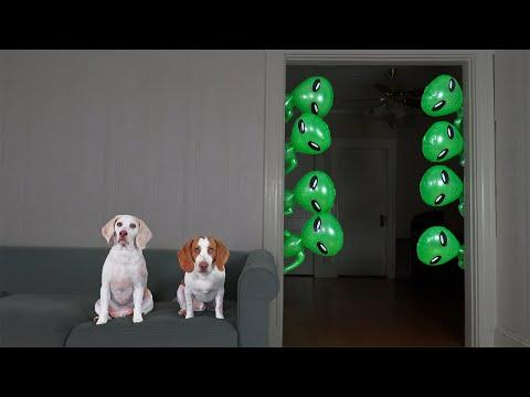 Dogs vs Mini Aliens Prank Video!: Funny Dog Maymo & Potpie Pranked by Alien Invasion