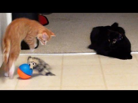 Cole And Marmalade - A Kitten A Cat & A Weasel Ball