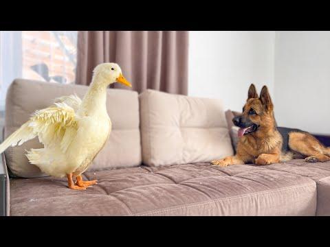 Funny German Shepherd Reaction to Duck #Video