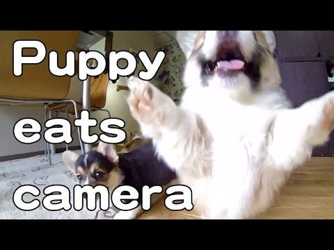 Corgi Puppies Want To Eat Camera