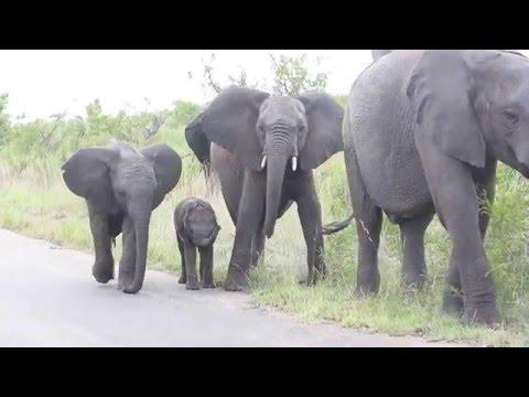 Baby Elephant Struggling With This Long Thing On His Face...