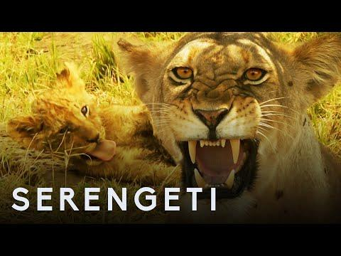 Lioness Defends Her Cubs from Jasari the Wild Dog | Serengeti: Story Told by John Boyega | BBC Earth