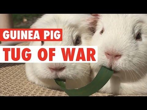 Guinea Pigs Play Tug Of War