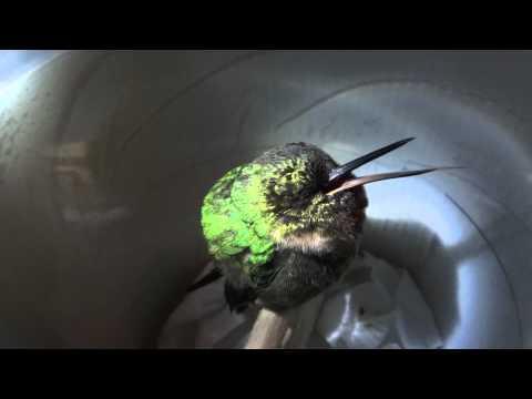 Sleeping Hummingbird