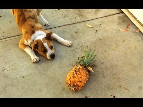 Dogs Vs. Pineapples Compilation