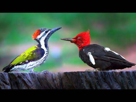 10 Most Beautiful Woodpeckers in the World Video
