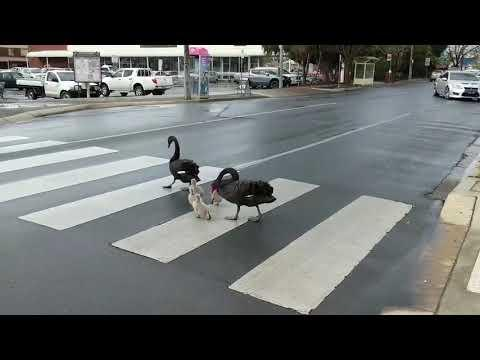Law-Abiding Family of Swans Cross Road at Pedestrian Crossing Video