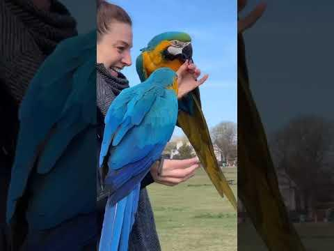 Lady calls in her pet macaws from across the pond and they land on her hands. #Video