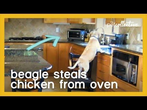 Beagle Steals Chicken from Oven