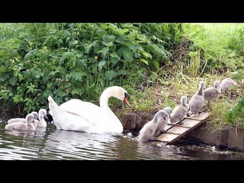 Mute Swan Family with 10 Cygnets Crossing the Road #Video