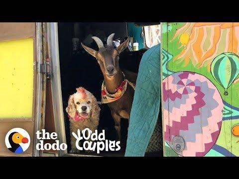 Goat And Senior Dog Are The Best Adventure Buddies