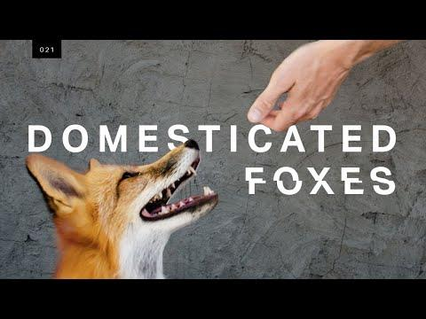 We met the world's first domesticated foxes