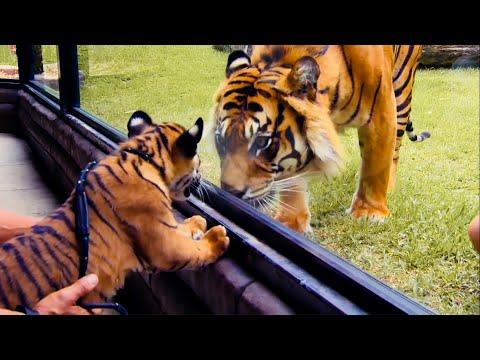 Top 5 Tiger Moments | BBC Earth