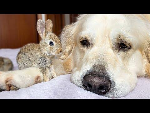 Cute Baby Bunnies think the Golden Retriever is their Mother Video