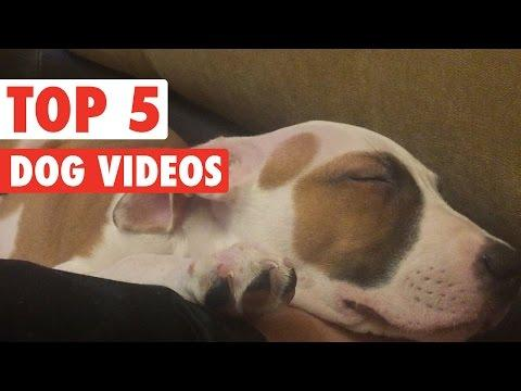 Top 5 Funny Dogs Compilation    Feb 26 2016