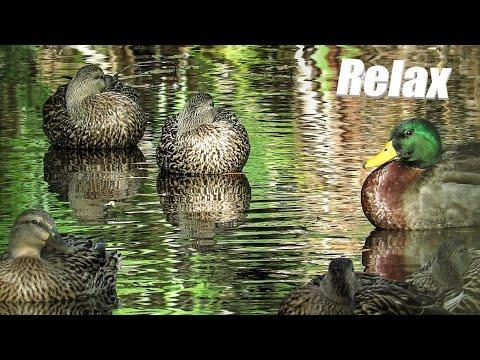 Mallard Duck Meditation